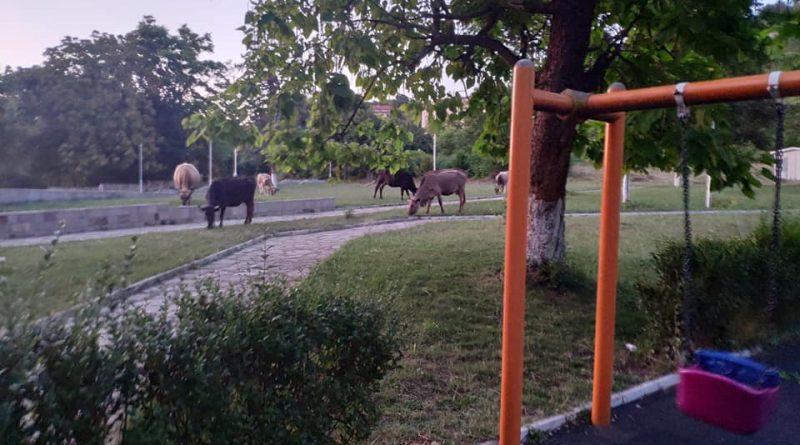 Нашествие на крави в градския парк