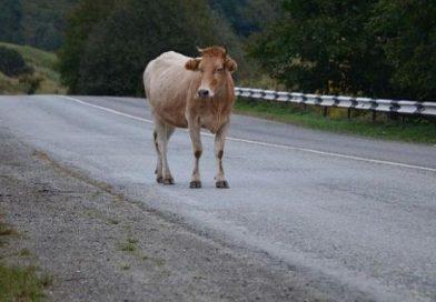 Собственикът на крава от Горна Кула трябва да плати 2000 лв, за пречини щети при катастрофа